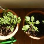 Grün – Essbar – Balkonien